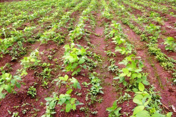 AP2-2-Parcelle de soja en phase de développement à Nènèko
