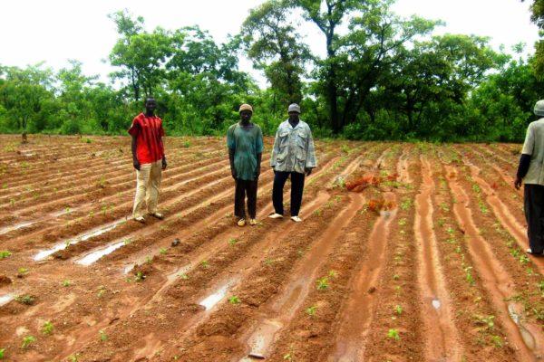 AP2-2-Une parcelle de soja en germination à Nènèko