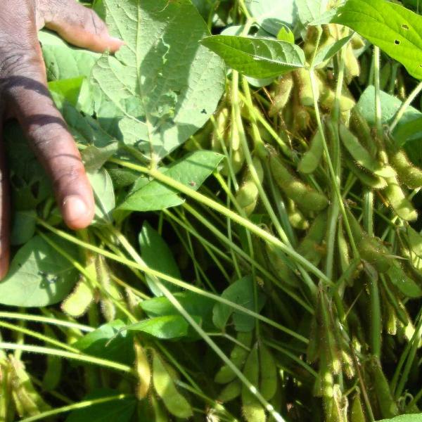 Soutenir les producteurs de la filière soja