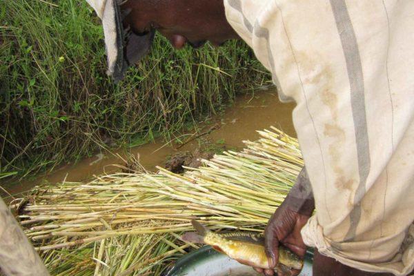 AP4-1-Récolte de poisson d'une rizière-Ranaivo-Mandritsara (2)- 2012