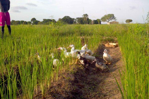 AP8-1-Canards dans la rizière sèche de Romélie Djiromait