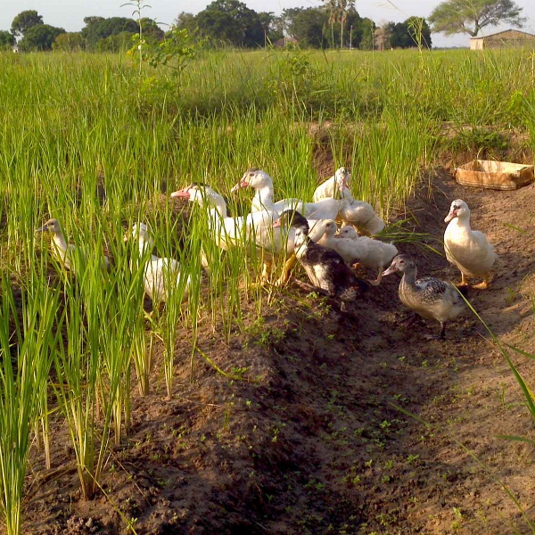 Introducing ducks in rice cultures
