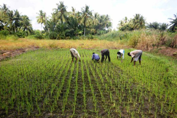 AP9-2-Parcelle de riz à Agbadome