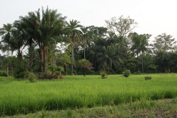 AP9-2-bilanTogo champ de riz